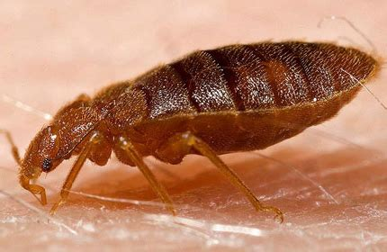 bed bugs causes bed bugs what causes bed bugs findapestpro pest