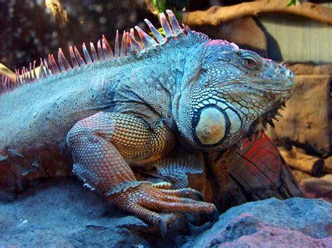 imagenes de iguanas blancas file iguana buinzoo jpg wikimedia commons
