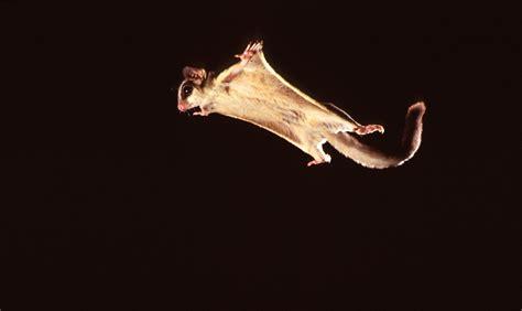 scoiattolo volante il petaurus breviceps o petauro dello zucchero cult stories