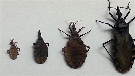 bug tri kissing bug brings deadly parasite to tri state wkrc