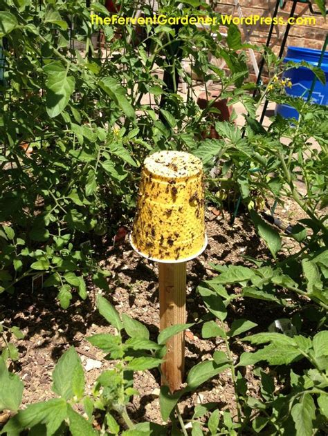 setting  trap  garden pests  aphids