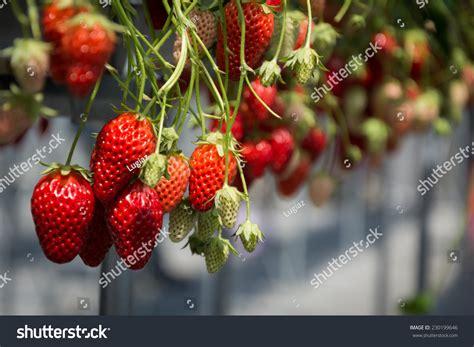 strawberry swing strawberry swing stock photo 230199646