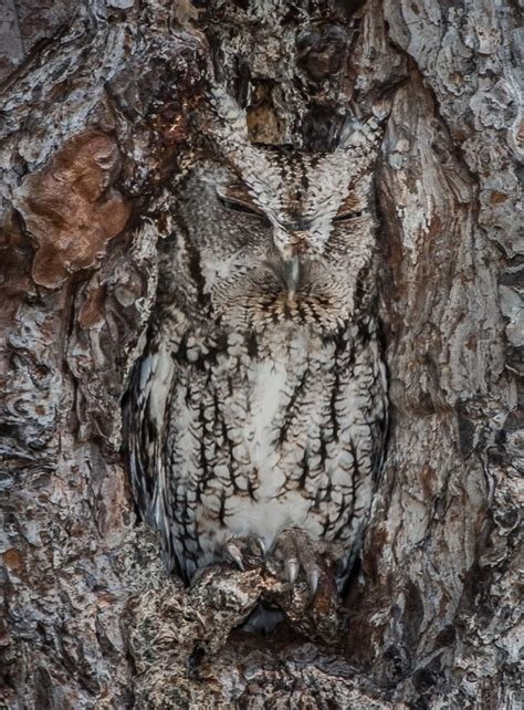 owl tree master of disguise owl barely visible nesting in tree