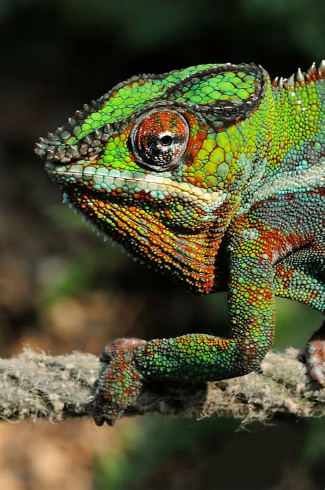 tattoo camo colombia 28 best amphibians and reptiles images on pinterest