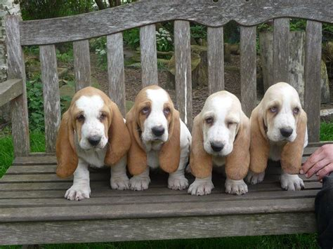 lemon basset hound puppies pin by elizabeth jahnsen on animals