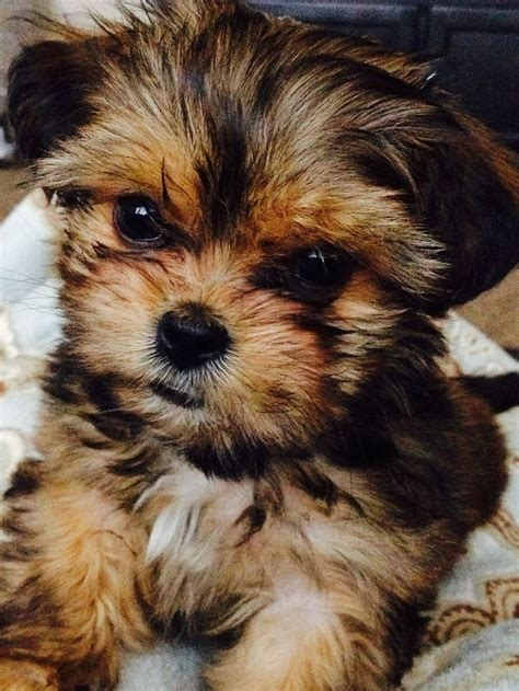 shorkie poo puppies for sale the 25 best shorkie puppies for sale ideas on yorkie teddy cut