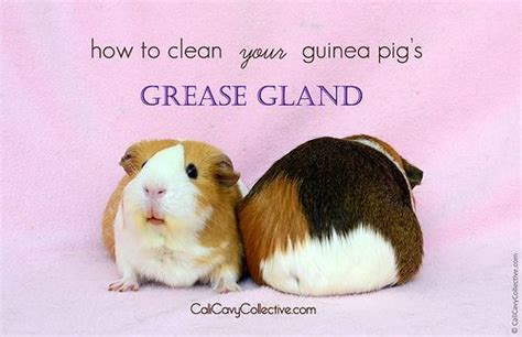 7 Tips On Caring For Pigs by What You Need To About Your Guinea Pig S Grease Gland