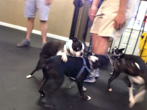 boston terrier puppies for sale in nc boston terrier puppies for sale nc dogs our friends photo