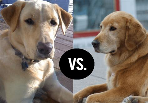 labrador golden retriever difference differences between golden retriever and labrador retriever all about dogs
