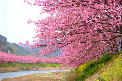 what does a cherry blossom tree symbolize choice image symbol and sign ideas speaking of cherry blossom viewing in izu kawazu sakura