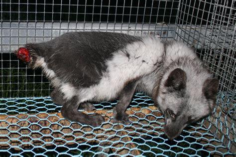fur farming a book of information about fur bearing animals enclosures habits care etc classic reprint books file oikeutta el 228 imille fur farming in finland 12 jpg