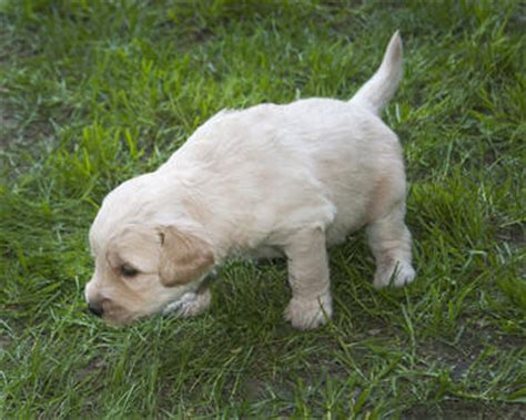goldendoodle puppies indiana goldendoodles in western ny breeds picture