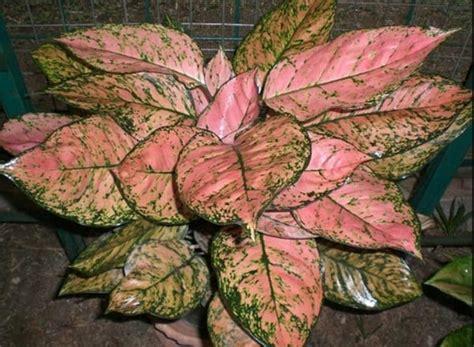 Tanaman Hias Aglonema Tiara jenis tanaman hias aglaonema yang populer beserta harganya