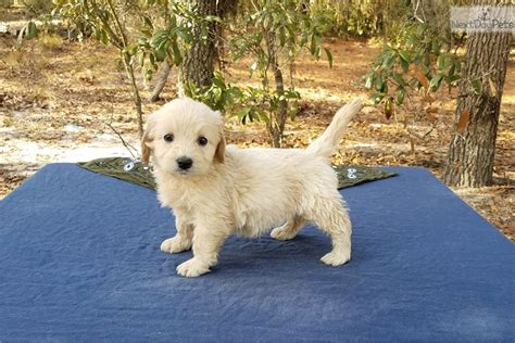goldendoodle puppies bay area goldendoodle puppy for sale near ta bay area florida 79cbe71c f771