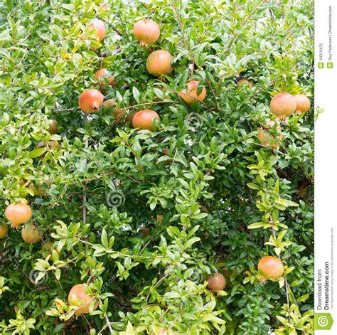 tree ripened fruit pomegranate tree