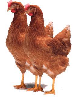Www Bibit Ayam Petelur sedia pullet ayam ras petelur horn cv kuda hitam perkasa