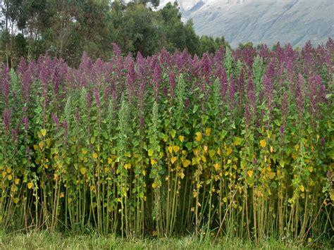 Bild Mit Echten Pflanzen by Quinoa Plants Quinoa Chenopodium Quinoa A Pseudocereal
