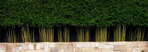 gracilis the best bamboo plant for privacy screening