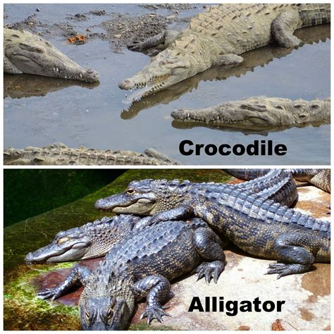 the difference between alligators and crocodiles 20 animals that are often confused for one another