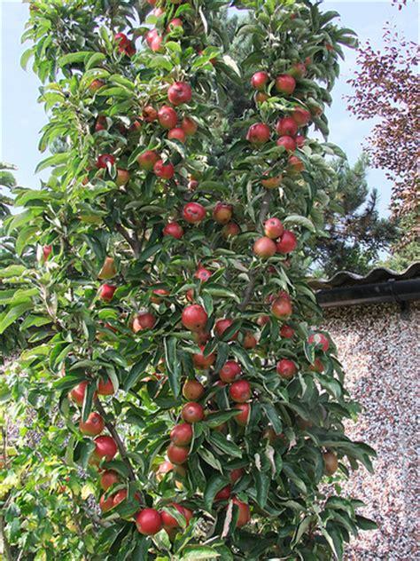 minarette fruit trees minarette columnar fruit trees