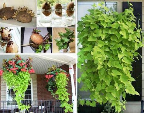 clever idea  plant potatoes   barrel