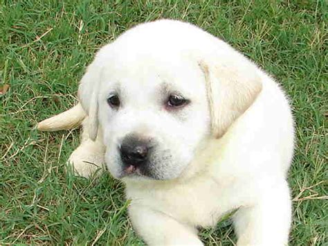 puppies for sale in mississippi silver lab puppies for sale in mississippi breeds picture