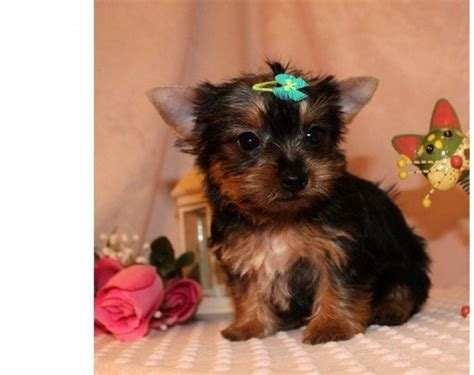 tiny teacup yorkies for sale in uk purebred tiny yorkie puppies for sale purebred tiny teacup yorkie cena dogovor u