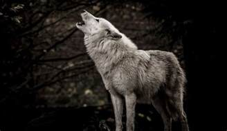 Wolf Wolf Someone A White Wolf And Officials Are Offering