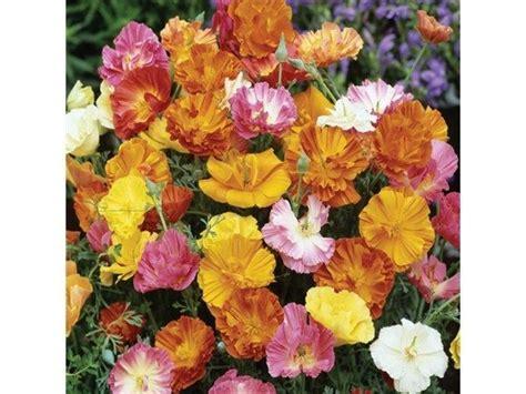 Biji Benih California Poppy Ballerina Mix california poppy ballerina mix flowers premier seeds direct ltd