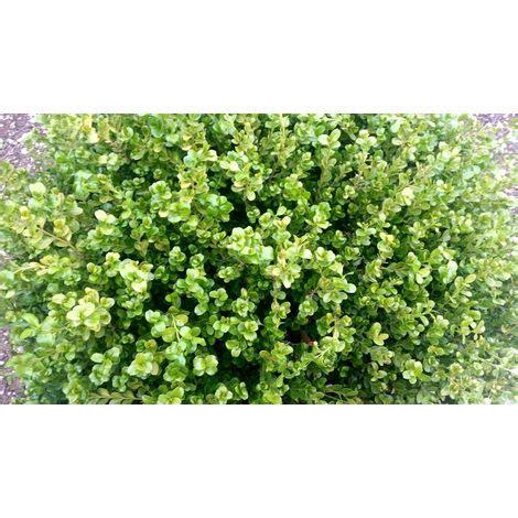 piante da siepe in vaso pianta di buxus rotondifolia pianta di bosso pianta da