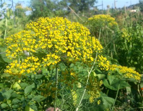 vegetable garden flowers bolted vegetable flower arrangements in the garden