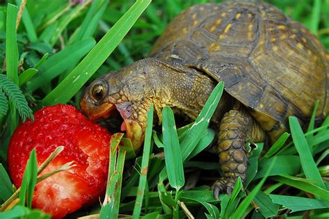 can pomeranians eat strawberries turtle strawberry nom nom animal club