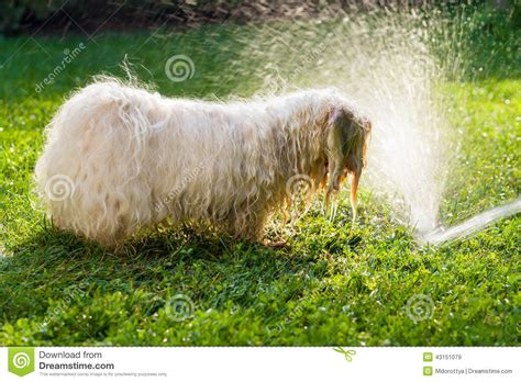 havanese water happy havanese is with a water beam stock photo image 43151079