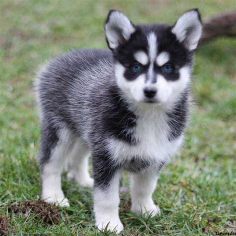 pomeranian and siberian husky mix for sale pomsky puppies for sale pomsky breed profile greenfield puppies