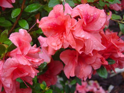 encore azaleas colors encore azaleas ramblin through dave s garden