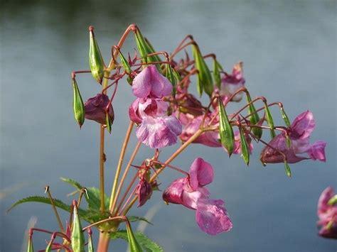 fiori di bach bruxismo fiori di bach contro il nervosismo cure naturali it