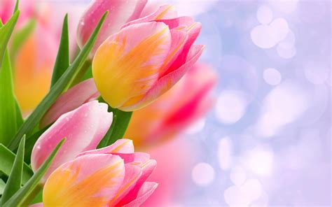 wallpaper bunga gratis bunga tulip flower wallpaper