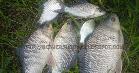 Harga Umpan Pancing Tiruan Di Sungai by Renjer Sungai Info Tentang Ikan Kelabau