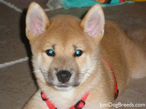 shiba inu puppies chicago adopt a shiba inu breeds petfinder breeds picture