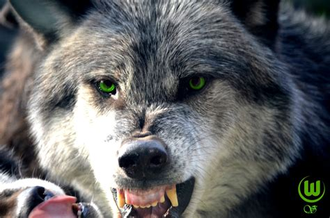Angry Wolf angry wolf by himbeertraum on deviantart
