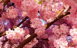 cherry blossom wallpaper hd pixelstalk net
