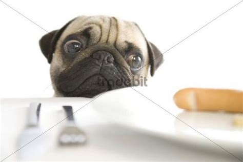pug x sausage pug posing a plate with a sausage abstract