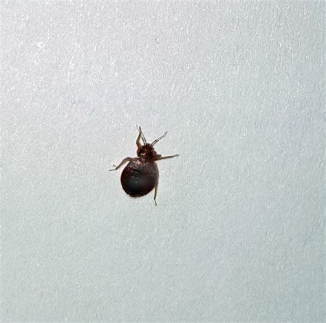 Black Bed Bugs Pictures To Pin On Pinterest Pinsdaddy
