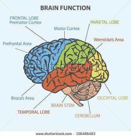 brain functions diagram broca stock photos images pictures