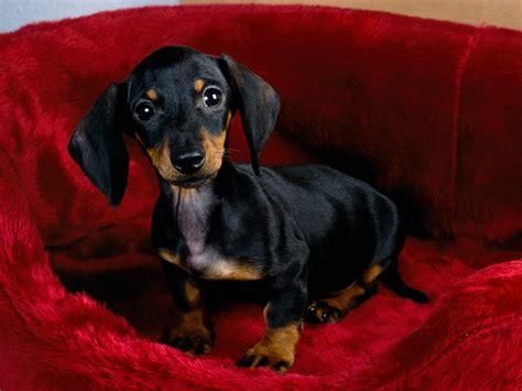 dotson puppies dachshund dogs wallpaper 13073698 fanpop