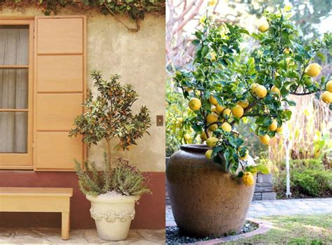 coltivare limone in vaso agrumi in vaso il verde come coltivare gli agrumi in vaso