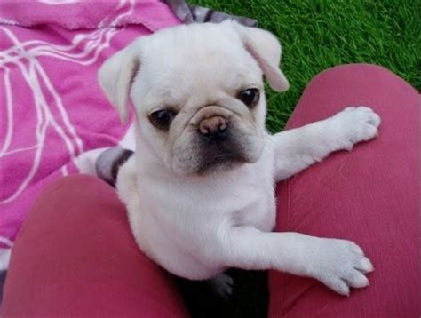 pictures of white pugs 1000 images about white pug puppies on pug white boys and mans best