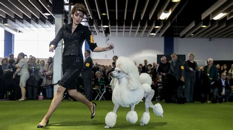 westminster show 2017 results westminster show 2017 breed results winners best in show other sports