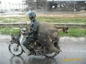 große le transport schweinerei gro 223 e sau wird auf moped transpo