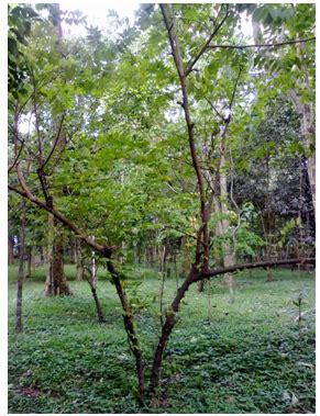 Pohon Masalah Hipertensi Kehamilan Tumbuhan Tegakan Di Hutan Kota Malang Malabar Catatanq